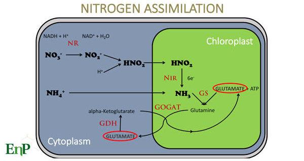 nitrogren assimilation for turf