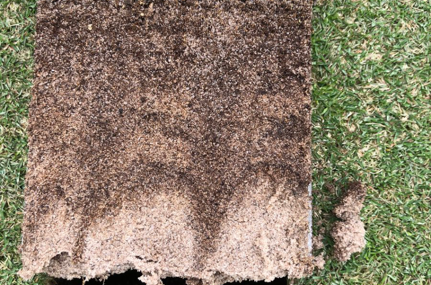 ultradwarf roots in turf
