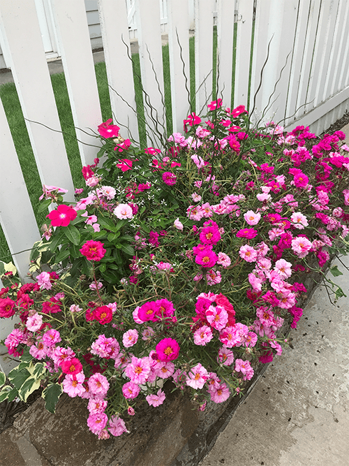 healthy flower basket after foliar-pak program