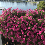 healthy flowers by water