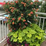 flowers after using ultimate ornamental program
