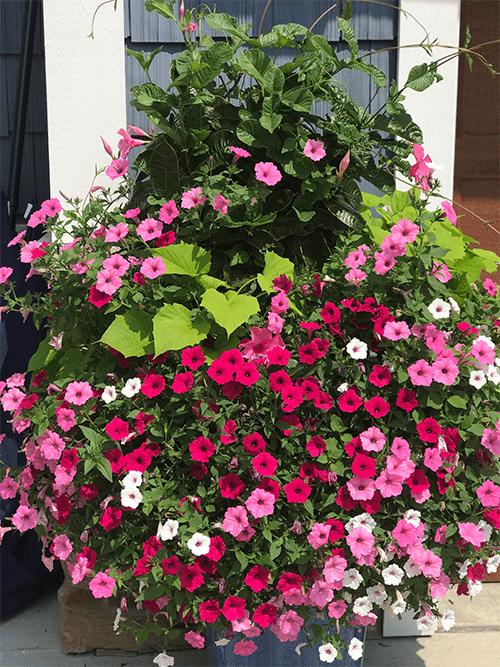 flowers after using foliar-pak program